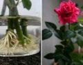 3 geniální způsoby, díky kterým Vám řezané růže nikdy nezvadnou – vydrží i několik měsíc!