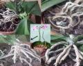 Geniální triky jak neponičit orchidej a správně o ní pečovat!