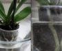 Osvědčený způsob jak urychlit a obnovit růst odkvetlé orchideje!