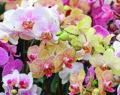 Speciální způsob, jak zavlažovat Vaše orchideje! Pokvetou jako nikdy předtím!