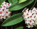 Nejlepší pokojová rostlina do Vaší domácnosti – Voskovka! Geniální rady jak jí rozkvést!