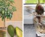Jednoduchý způsob jak si pěstovat avokádo na parapetu! Nemusíte ho už kupovat v supermarketu!