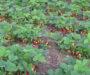 Máte rádi jahody? Už je nemusíte kupovat v obchodě! Geniální triky jak si doma pěstovat své vlastní jahody!