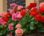 Nejjednodušší způsob, díky kterým Vaše muškáty pokvetou jako nikdy předtím! Elixír života pro stále kvetoucí rostliny!