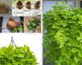 Geniální způsob jak si na Vašem parapetu vypěstovat domácí sladké brambory! Lepší než ty kupované!