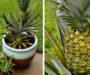 Geniální způsob jak si doma pěstovat ananas! Budete mile překvapeni výsledky!