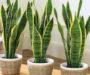5 pokojových rostlin, které Vám pomůžou okamžitě usnout! Máte některou z nich?