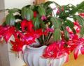 Osvědčené triky jak správně pečovat o vánoční kaktus – pokvete jako nikdy předtím!